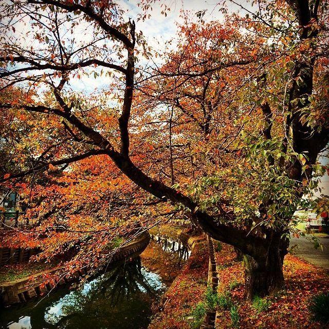 新河岸川の紅葉